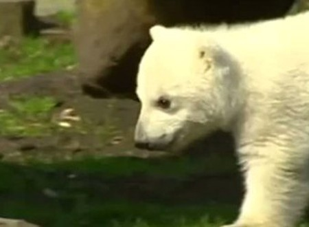 Eisbär Knut – Todesursache nun klar